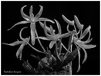 Dendrobium dekockii. A species orchid (black and white)