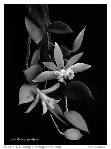 Dendrobium pugioniforme. A species orchid (black and white)