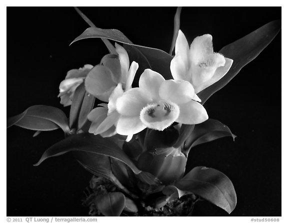 Black and White Picture/Photo: Dendrobium sulcatum. A ...