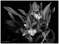 Dinema polybulbon. A species orchid (black and white)