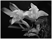 Eria reptans 'Matsudai'. A species orchid (black and white)