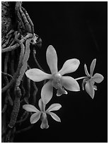 Phalaenopsis hongenensis. A species orchid (black and white)
