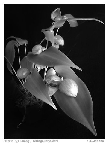 Pleurothallis palliolata. A species orchid (black and white)