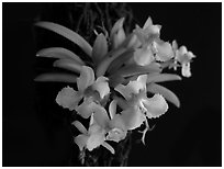 Zygostates alleniana. A species orchid (black and white)