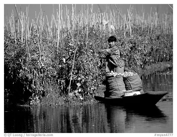 Harvesting apples on the floating gardens. Inle Lake, Myanmar (black and white)