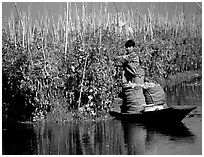 Harvesting apples on the floating gardens. Inle Lake, Myanmar ( black and white)