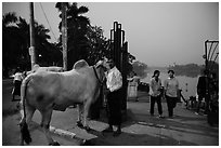 Man with ox and women walking at twilight on Kandawgyi lakeshore. Yangon, Myanmar ( black and white)