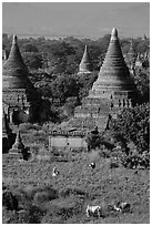 Peasant and ox in field below pagodas. Bagan, Myanmar ( black and white)