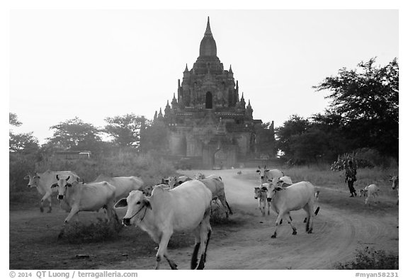 Cattle herd in front of Tayok Pye temple. Bagan, Myanmar (black and white)