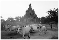 Cattle herd in front of Tayok Pye temple. Bagan, Myanmar ( black and white)