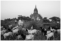 Sheep herder in front of temple, Minnanthu village. Bagan, Myanmar ( black and white)