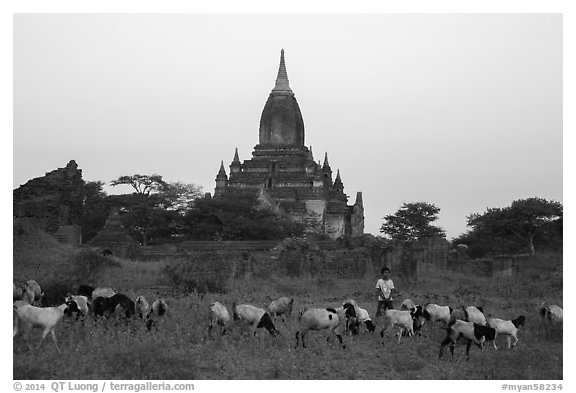 Sheep herding at sunset, Minnanthu village. Bagan, Myanmar (black and white)