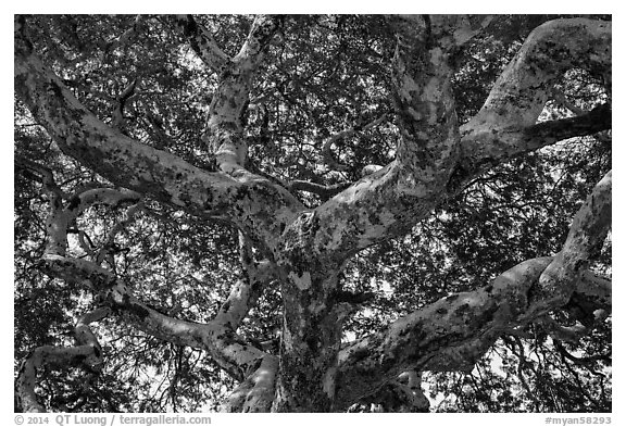 Ancient tree branches, Mingun. Myanmar (black and white)