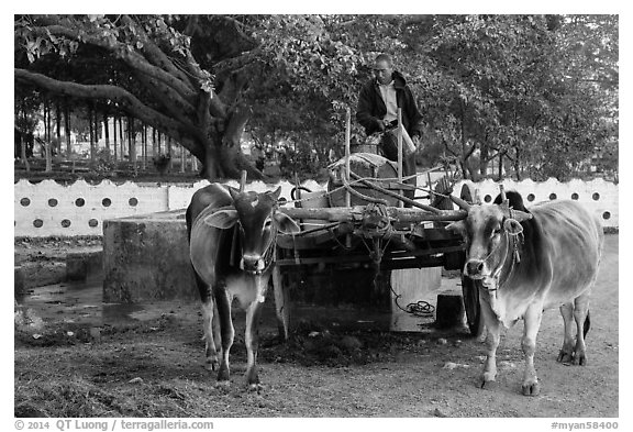 Man refilling tank on ox cart. Pindaya, Myanmar (black and white)