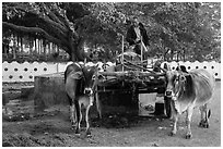 Man refilling tank on ox cart. Pindaya, Myanmar ( black and white)