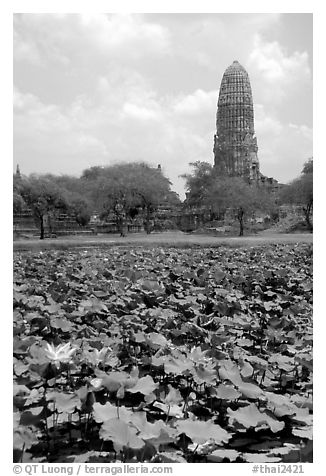 Lotus pond and  corn-shaped chedi. Ayutthaya, Thailand (black and white)