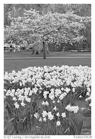 Daffodils and tree in bloom, Saint James Park. London, England, United Kingdom (black and white)