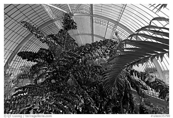 Tree canopy in the Palm House. Kew Royal Botanical Gardens,  London, England, United Kingdom (black and white)