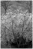 Trees in bloom, Greenwich Park. Greenwich, London, England, United Kingdom ( black and white)