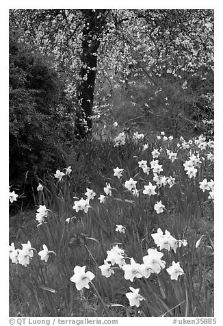Daffodills and tree in bloom, Greenwich Park. Greenwich, London, England, United Kingdom (black and white)