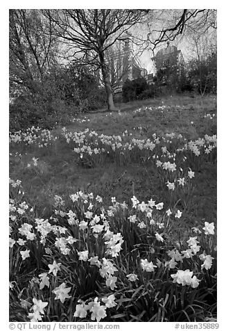 Daffodils on hillside,  Royal Observatory. Greenwich, London, England, United Kingdom (black and white)