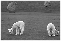 Two lambs and two standing stones, Avebury, Wiltshire. England, United Kingdom (black and white)