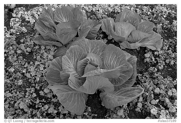 Giant cabbages on floral display. Anchorage, Alaska, USA (black and white)