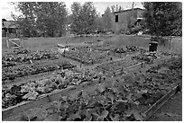 Vegetables grown in small enclosed garden. McCarthy, Alaska, USA ( black and white)