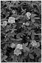 Wild Roses close-up. Alaska, USA (black and white)