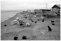 Mushing dogs. Kotzebue, North Western Alaska, USA (black and white)