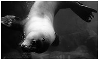 Northern Sea Lion, Alaska Sealife center. Seward, Alaska, USA ( black and white)