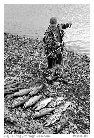 Fisherman laying out on shore salmon. Homer, Alaska, USA (black and white)