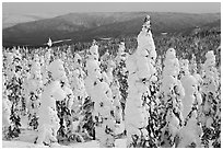 Trees plastered in snow. Alaska, USA (black and white)