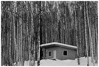 Cabin amongst bare aspen trees. Alaska, USA (black and white)
