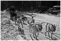 Recreational dog mushing. Chena Hot Springs, Alaska, USA (black and white)