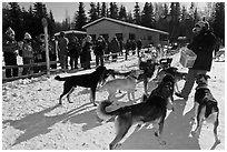 Musher feeding dogs. Chena Hot Springs, Alaska, USA (black and white)