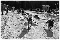 Sleg dog team pulling hard. Chena Hot Springs, Alaska, USA (black and white)