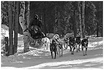 Musher and passengers pulled by dog team. Chena Hot Springs, Alaska, USA (black and white)