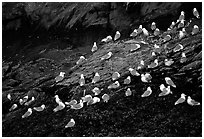 Seabirds on rock. Prince William Sound, Alaska, USA ( black and white)