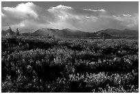 Tundra in fall colors  and mountains at sunset. Alaska, USA ( black and white)