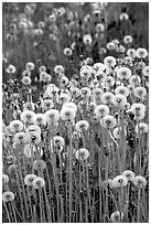 Dandelion seeds. Alaska, USA (black and white)