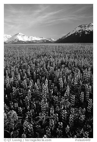 Lupine patch and mountains near Portage. Alaska, USA (black and white)