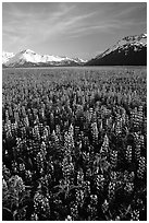 Lupine patch and mountains near Portage. Alaska, USA ( black and white)