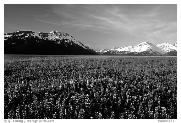 Lupine and snowy mountains near Portage. Alaska, USA (black and white)