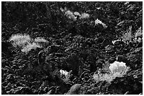 Sage and black lava. California, USA ( black and white)