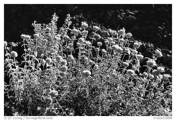 Flowers,  Lava Beds National Monument. California, USA (black and white)