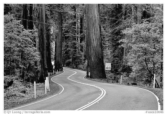 Black and white picture photo curving road in redwood forest richardson grove state park california usa