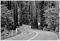 Curving road in redwood forest, Richardson Grove State Park. California, USA ( black and white)