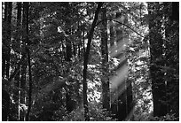 Sunrays in forest. Muir Woods National Monument, California, USA ( black and white)