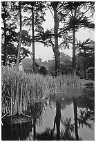 Pond, reeds, and pine trees. San Francisco, California, USA (black and white)
